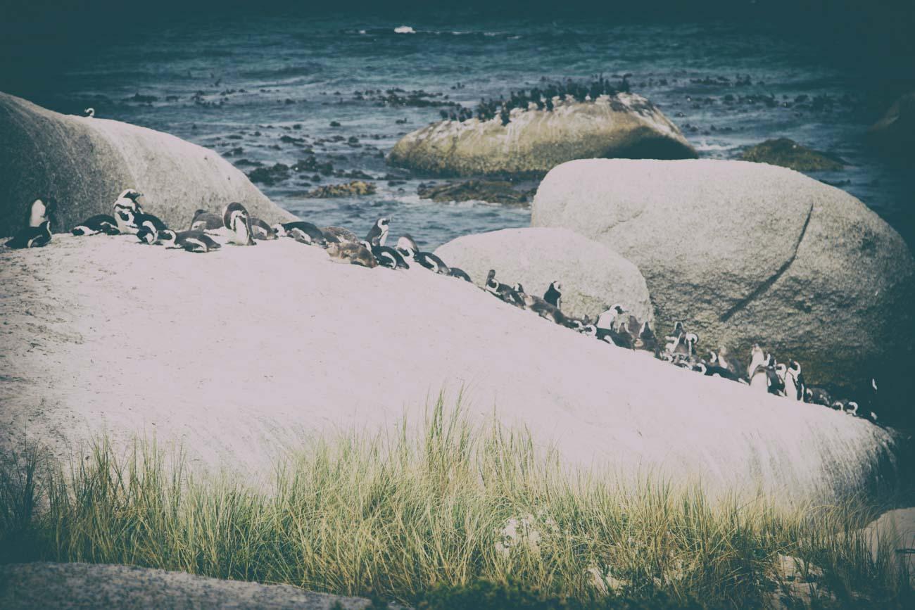 boulders beach pinguïns