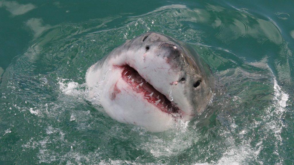 Witte haai Gansbaai